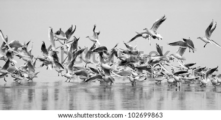 Flying gulls on an icy lake - stock photo