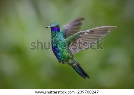 Flying hummingbird Sparkling Violetear with green forest background - stock photo