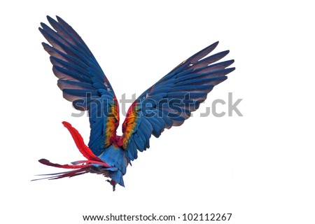 Flying macaw parrot - isolated on white background - stock photo