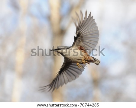 Flying Nuthatch with Open Wings/Simple flight of Nuthatch and difficult work to catch this moment - stock photo