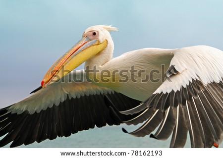 flying pelican - stock photo