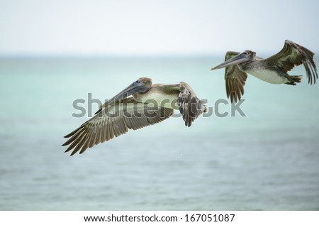 Flying Pelican bird in Dry Tortugas Florida - stock photo