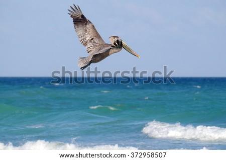 Flying pelican portrait . - stock photo
