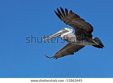 Flying pelican seen from below. - stock photo