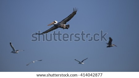 Flying Pelican with the seagulls - stock photo