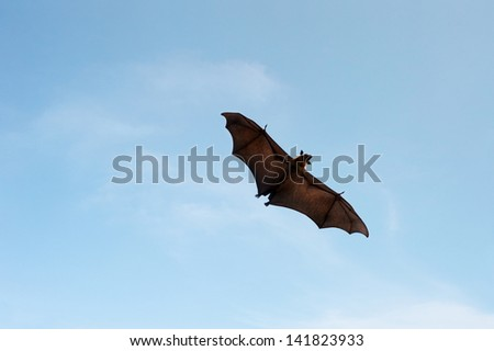 Flying Pteropus on the blue sky - stock photo