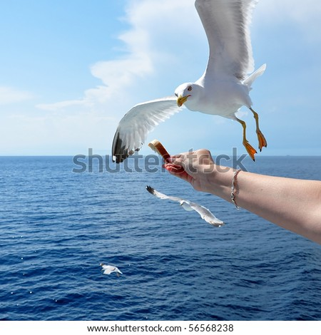 Flying seagull taking food from hand - stock photo