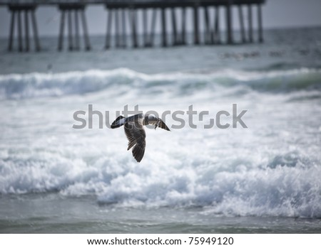 Flying Seagull with small fish in its mouth in Hermosa Beach - stock photo