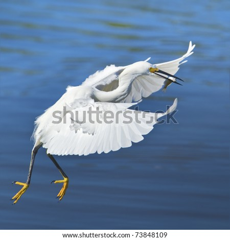 Flying Snowy Egret with catch dancing inthe air .Latin name - Egreta tula. - stock photo