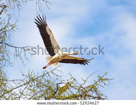 flying stork - stock photo