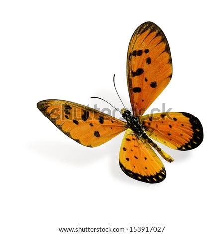 Flying Tawny coster butterfly (Acraea violae) - stock photo