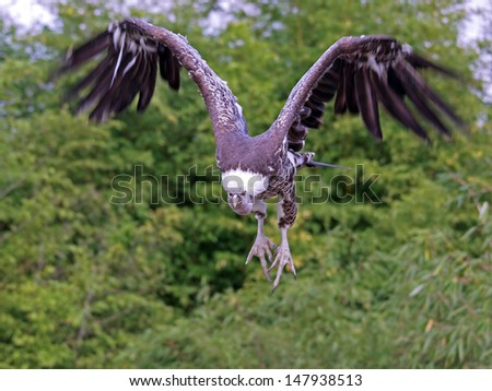 Flying vulture - stock photo