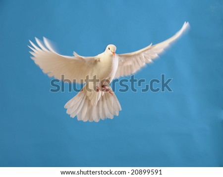 flying white dove isolated on blue - stock photo