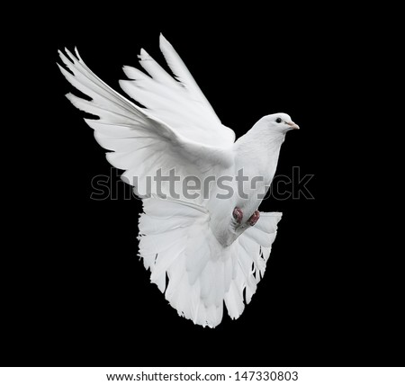 flying white dove on a black background - stock photo