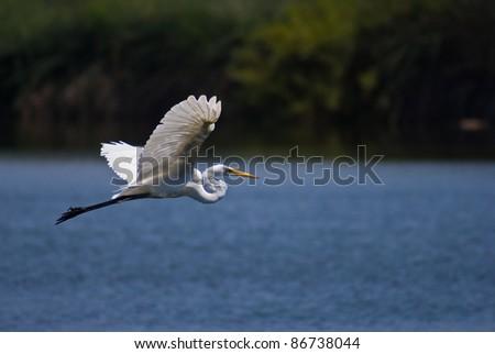 Flying White Egret - stock photo