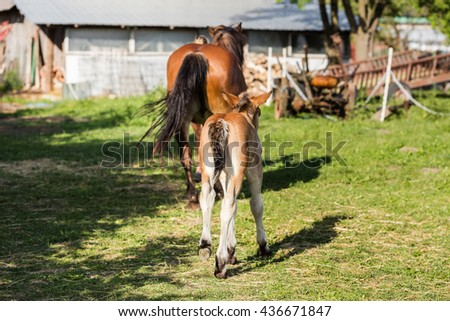 Foal and her mare. Two brown horses. - stock photo