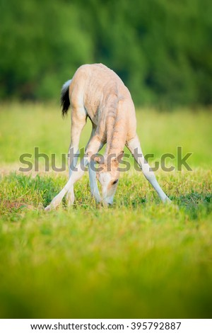 Foal eating grass - stock photo