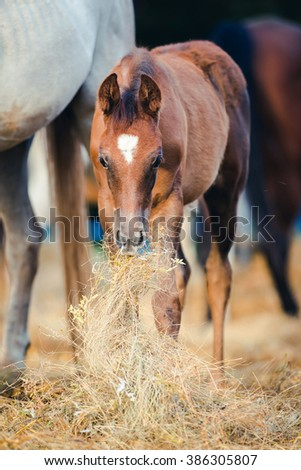 Foal eating hay near mare - stock photo