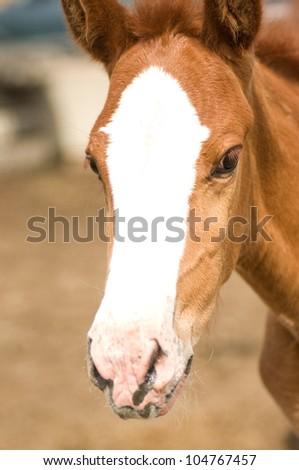 Foal Horse - stock photo