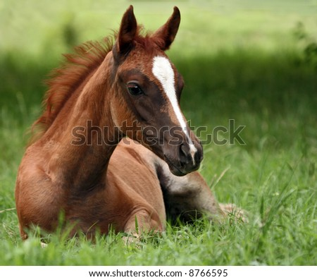 Foal laying in pasture - stock photo