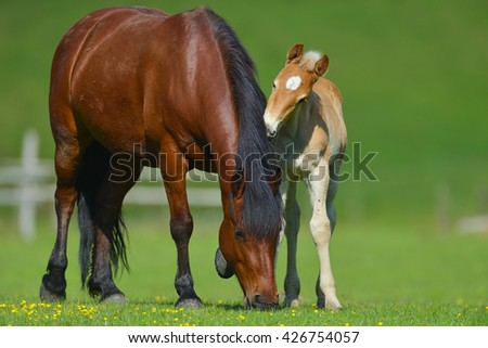 Foal with a mare on a summer pasture - stock photo