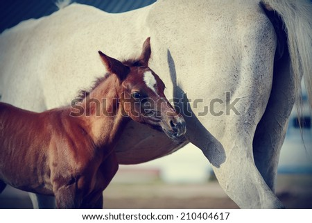 Foal with a mare. Portrait of a brown foal. Muzzle of a foal. Brown foal. Small horse. Foal with an asterisk on a forehead. - stock photo