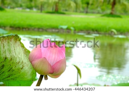 Focus blooming pink lotus in pond - stock photo