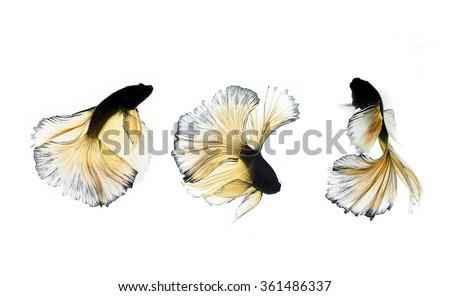 Focus on yellow trail,Betta fish, siamese fighting fish, betta splendens,betta in aquarium,Betta fish isolated on white background. Flying betta fish,Abstract Betta - stock photo