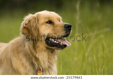 Focused Golden Retriever - stock photo