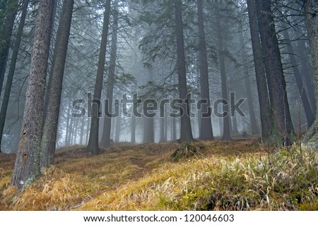 Fog in fir tree forrest - stock photo