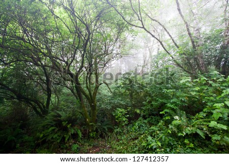 Foggy haunted forest on the Northern California coast - stock photo