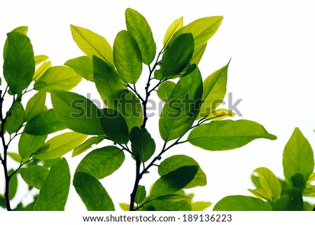 Foliage isolated on background white - stock photo