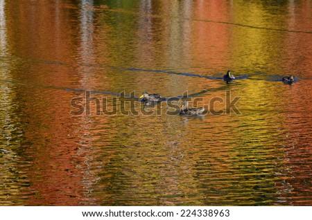 Foliage reflected on New England pond with mallard ducks - stock photo