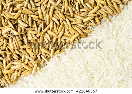 Food background with paddy and white (jasmine) rice - stock photo