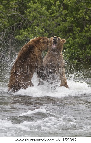 Food Fight - Two male grizzly bears fight over who owns this particular salmon fishing spot. Brooks river, Katmai National Park, Alaska. - stock photo