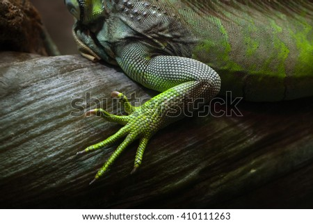 Foot of the green iguana (Iguana iguana). Wild life animal.  - stock photo