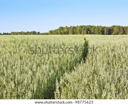 Footpath across oats field - stock photo