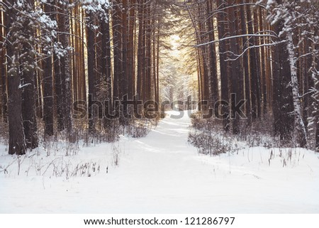 Footpath in pine winter wood - stock photo