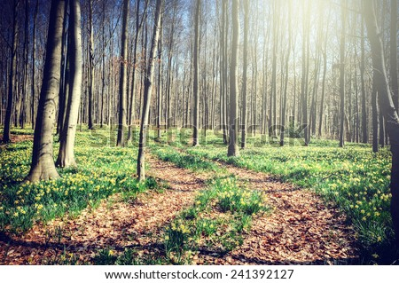 Footpath in spring forest covered by yellow daffodils  - stock photo