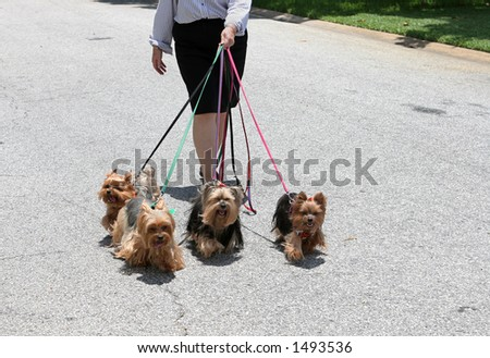 For adorable yorkie dogs on their daily walk. - stock photo