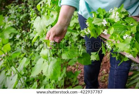 foraging for wild food. A woman picking the invasive species garlic mustard, Alliaria petiolata herb.  - stock photo