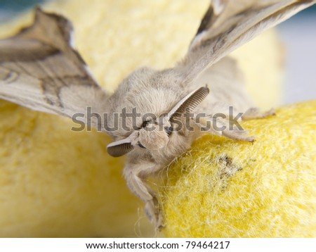 forefront of a butterfly on silkworm cocoons - stock photo