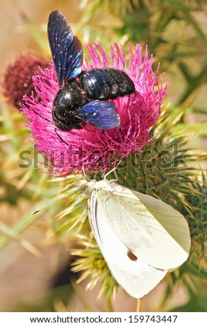 foreground of bumblebee on a thistle flower  - stock photo