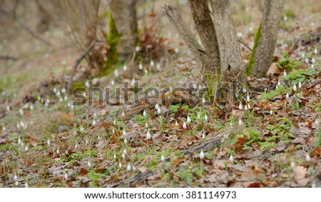 forest and snowdrop flowers in spring season - stock photo