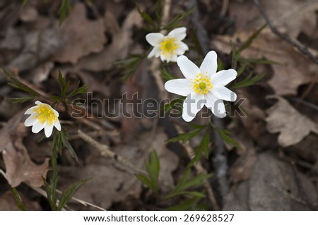 Forest anemones among the withered leaves this cloudy spring day. - stock photo