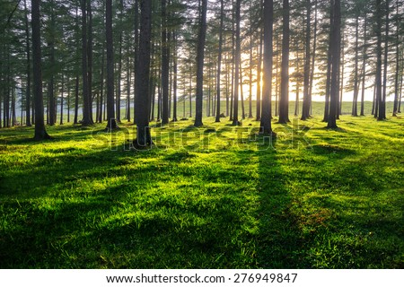 forest at sunset with trunk shadows - stock photo