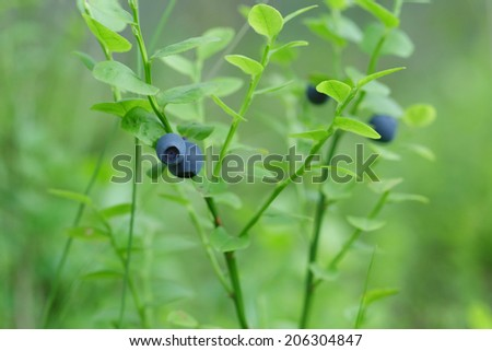 forest bilberry close up, outdoor photo in nature - stock photo