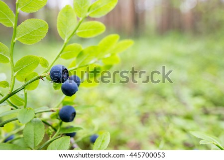 Forest bluebery grows in the natural habitat. Focus on one single berry with copy space. - stock photo
