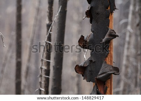 Forest Fire: bark unfurls from a pine tree after it was ravaged by flames in a wildfire in the Cascade Mountains of Washington State, near the Canada border (selective focus on charred bark) - stock photo