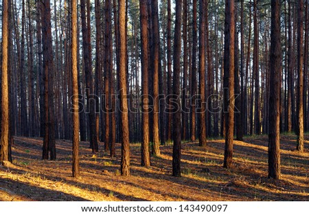 Forest illuminated by the evening sun - stock photo